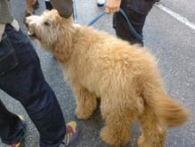 a fluffy, bear-like dog